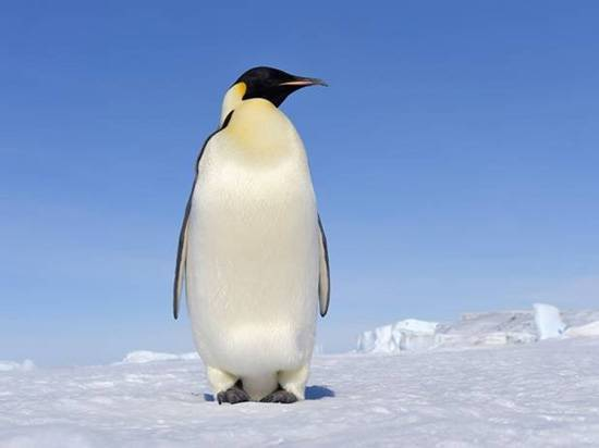 "This is what ordinary people think of when they hear the word ""penguin"""